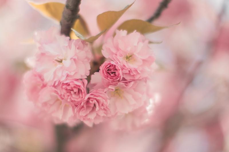 tara jarmon cherry blossom roosevelt island new york - PAULINEFASHIONBLOG.COM_-14