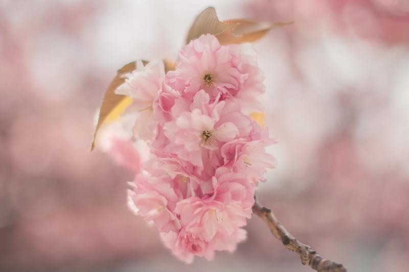 tara jarmon cherry blossom roosevelt island new york - PAULINEFASHIONBLOG.COM_-15