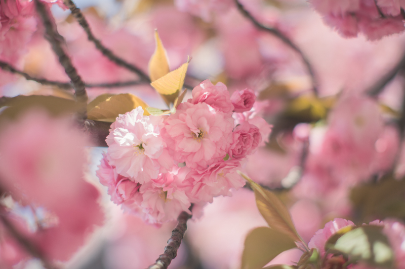 tara jarmon cherry blossom roosevelt island new york - PAULINEFASHIONBLOG.COM_-16