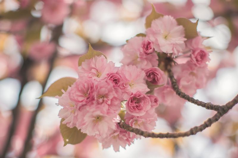 tara jarmon cherry blossom roosevelt island new york - PAULINEFASHIONBLOG.COM_-17