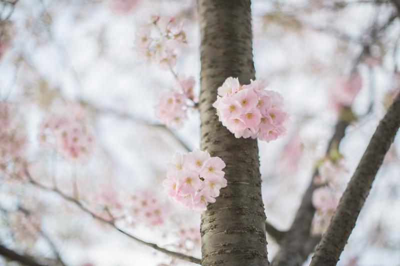 cherry blossom roosevelt island new york blogger copyright paulinefashionblog.com  10 Sakura