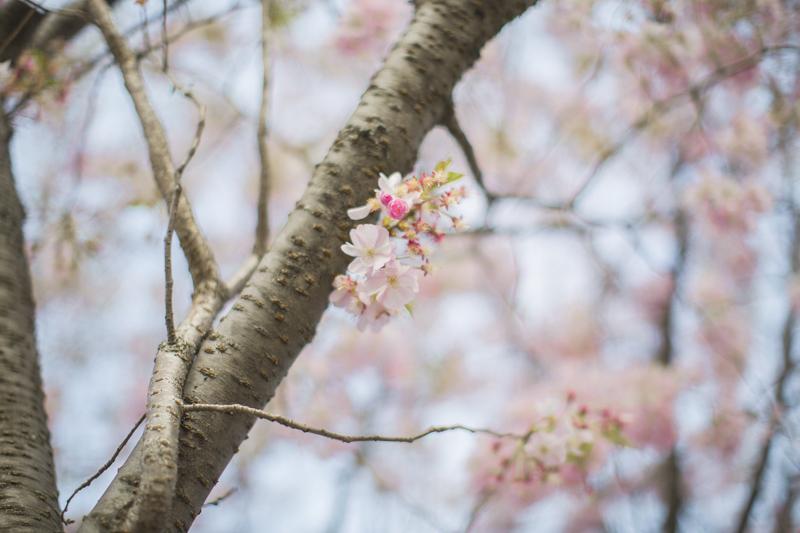 cherry blossom roosevelt island new york blogger copyright paulinefashionblog.com  11 Sakura