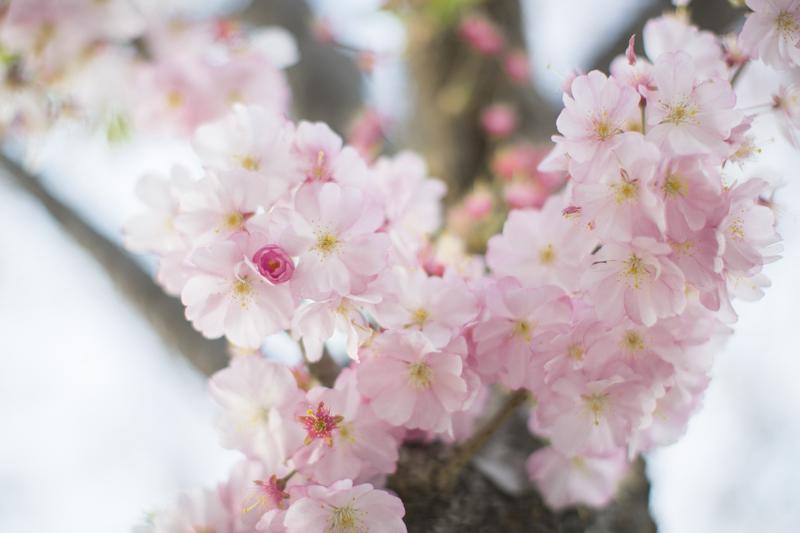 cherry blossom roosevelt island new york blogger copyright paulinefashionblog.com  12 Sakura